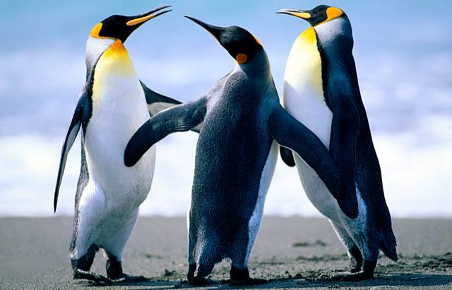 Pingvini / vođa