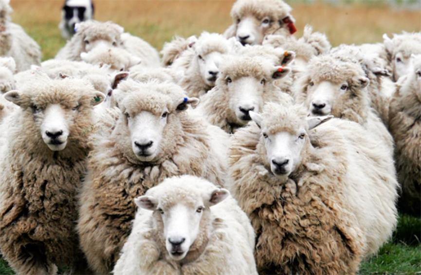 Lička tvrtka pastire dovela iz svih dijelova svijeta: Albanac, Indijci, Ukrajinci, Makedonac, predstavnici svih naroda iz Bosne i Hercegovine svoju su sreću našli čuvajući ovce