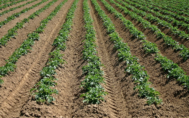 Uzgajivač krumpira postao miilijunaš zahvaljući inovativnosti