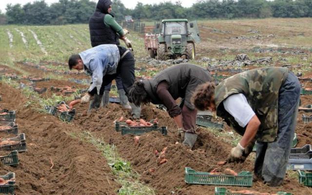Hrabri Slavonac bacio se na uzgoj biljke koje još nema na tržištu