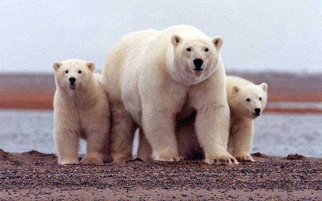 Polarni medvjedi opkolili znanstvenike na arktičkom otoku, pomoć dolazi za mjesec dana