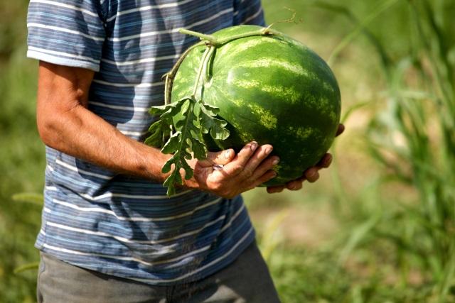 Obitelj iz Slavonije uništila 25 tona lubenica jer ih nije imala kome prodati!