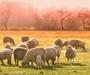 Otočani traže osobe za čuvanje ovaca i nude 15.000 kn