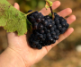 Radnika nedostaje i u vinogradarstvu: 'Domaće radnike je postalo teško pronaći'