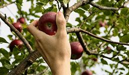 Berba domaćih jabuka u jeku, a uvoznici već požurili po tuđe