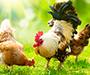 Želite dnevno svježa jaja, unajmite kokoš
