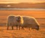 (VIDEO) Franjo ima 320 ovaca i sam je svoj gazda, u Njemačku više ne bi ni da je kruha gladan
